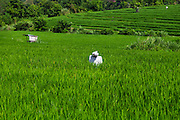 Rice field in Canggu
