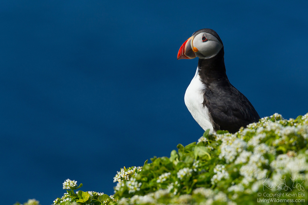 An Atlantic puffin (Fratercula arctica), surrounded by summer wildflowers, rests on a bluff above the Atlantic Ocean on the island of Grímsey, Iceland. Tens of thousands of puffins breed on Iceland's cliffs during the summer. They spend the rest of the year at sea. The island of Grímsey, which straddles the Arctic Circle, is the northernmost inhabited Icelandic territory.