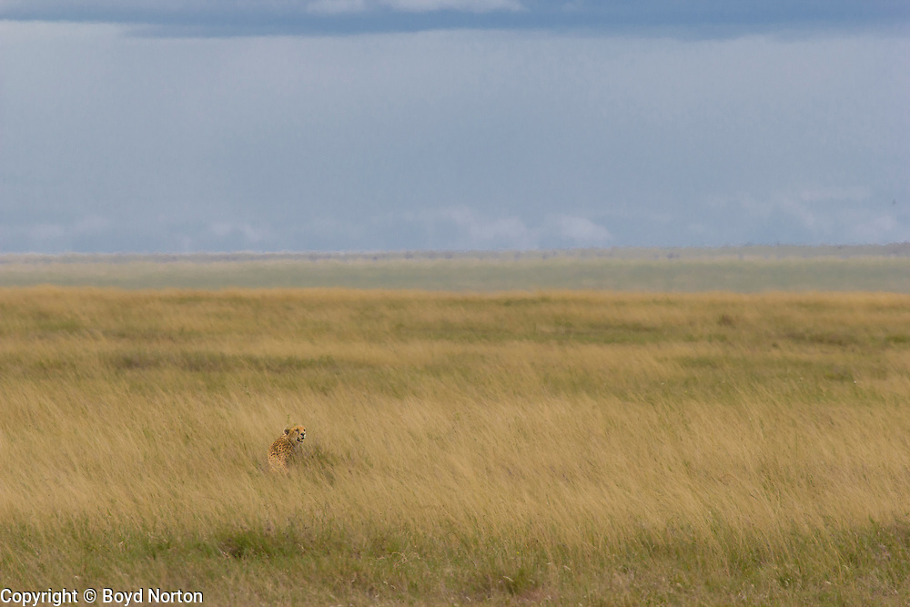 Cheetah in long grass, Serengeti National Park, Tanzania.