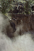 Wildebeest <br /> Connochaetes taurinus <br /> Jumping off cliff to cross Mara River<br /> Masai Mara Conservancy, Kenya