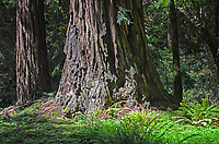 Muir Woods is world famous for its redwoods, Sequoia sempervirens. it is  located in the midst of a metropolitan region just eight miles north of San Francisco. 201304302163<br />