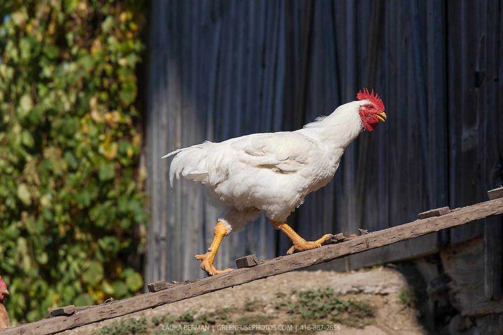 A white rooster with bright red comb and yellow beak and legs, struts on a ramp in and out of his barn.