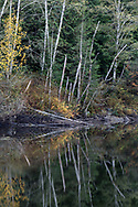 Tree trunks reflected in the waters of Buntzen Lake in the fall.  Photographed from the floating bridge at the south end of Buntzen Lake near Anmore, British Columbia, Canada.