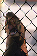 Injured sick sea lion recovers in cage at the Marine Mammal Rescue Center, Marin Headlands, California