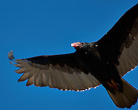 Turkey Vulture soaring in the afternoon sun. Backyard winter nature in New Jersey. Image taken with a Nikon D2xs camera and 80-400 mm VR lens (ISO 100, 400 mm, f/5.6, 1/400 sec).