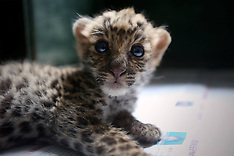 JUN 07 2014 Newborn Leopard Cub