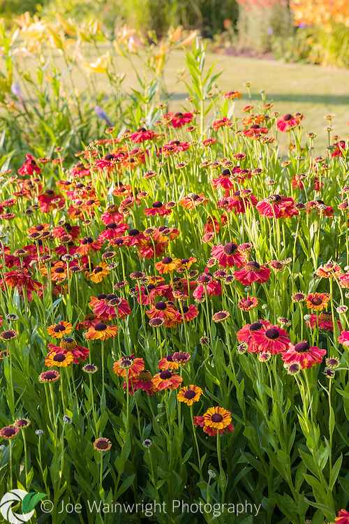 Heleniums bathed in evening sunlight, in a herbaceous border at Bluebell Cottage Gardens, Cheshire - photographed in July