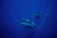 A pod of melon-headed whales swimming underwater.