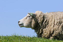schapen, sheep, Ovis ariens