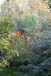 Salix purpurea 'Nancy Saunders' with Lythrum virgatum, Crocosmia 'Late Cornish' and Elaeagnus 'Quicksilver' beyond