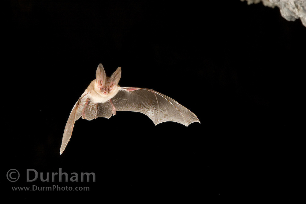 A townsend's big-eared bat (Corynorhinus townsendii) exits a cave in the Derrick Cave complex, a series of lava tubes and lava bubbles. Dusk. Central Oregon.