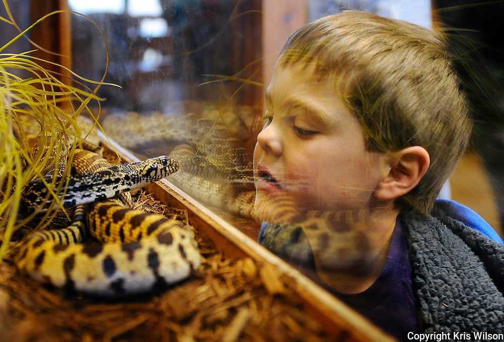 6-year-old Spencer Irvin gets an eye-to-eye look at Runge Nature Center's resident bull snake after participating in the center's Eagle Adventure program in Jefferson City.