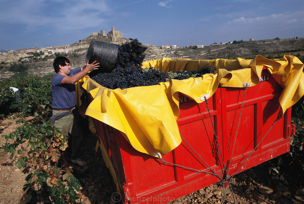 Picking red grapes, San Vincente de la Sonsierra. Rioja, Spain.