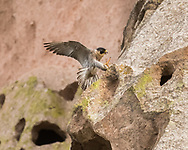 Peregrine falcon landing on a ledge on a cliff, © 2015 David A. Ponton, [Prints to 8x10, 16x20, 24x30, or 40x50 in. with no cropping]
