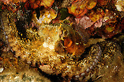 Octopus (Octopus vulgaris) (Octopoda) | Gewöhnlicher Krake (Octopus vulgaris)