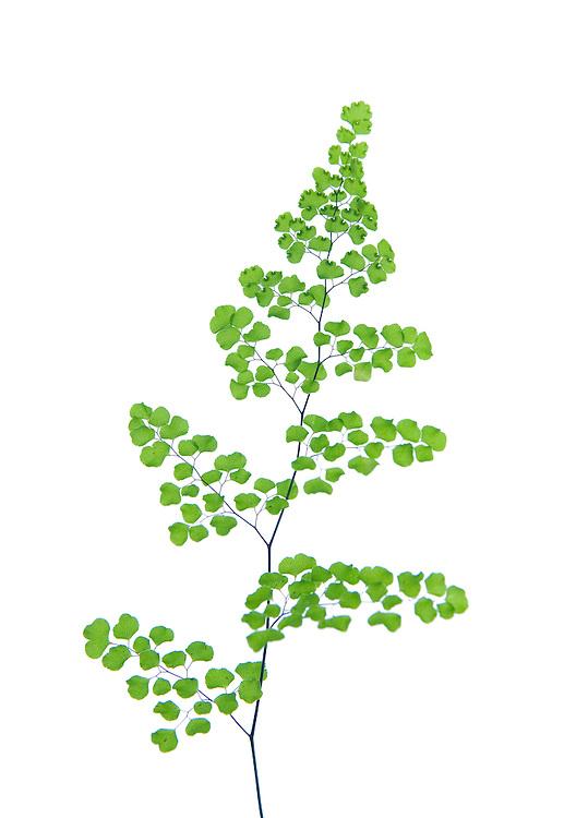 Maidenhair Fern, Adiantum aethiopicum
