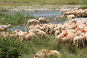 A herd of Sheep in rural Romania