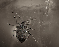 Brown Marmorated Stink Bug - Indoor Winter Nature. Image taken with a Nikon Df and 105 mm f/2.8 VR macro lens  (ISO 100, 105 mm, f/16, 1/60 sec) and ring-flash. Image converted to B&W with Capture One 7 Pro.