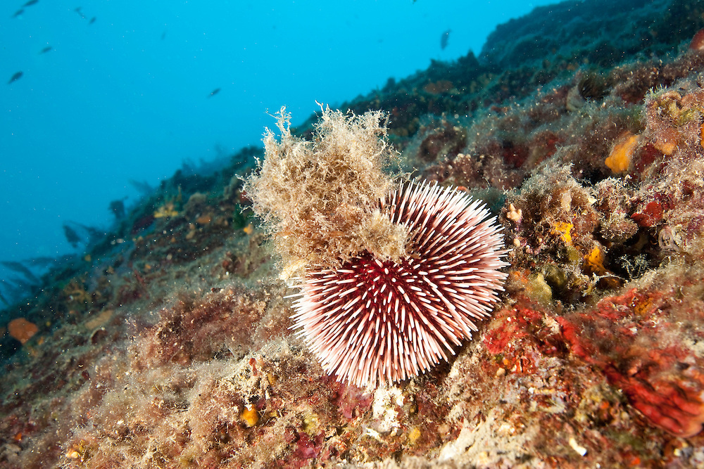 Sea urchin (Sphaerechinus granularis) Larvotto Marine Reserve, Monaco, Mediterranean Sea<br /> Mission: Larvotto marine Reserve