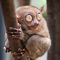This is a tarsier, Tarsius syrichta, one of the smallest primates found on the island of Bohol in the Philippines.