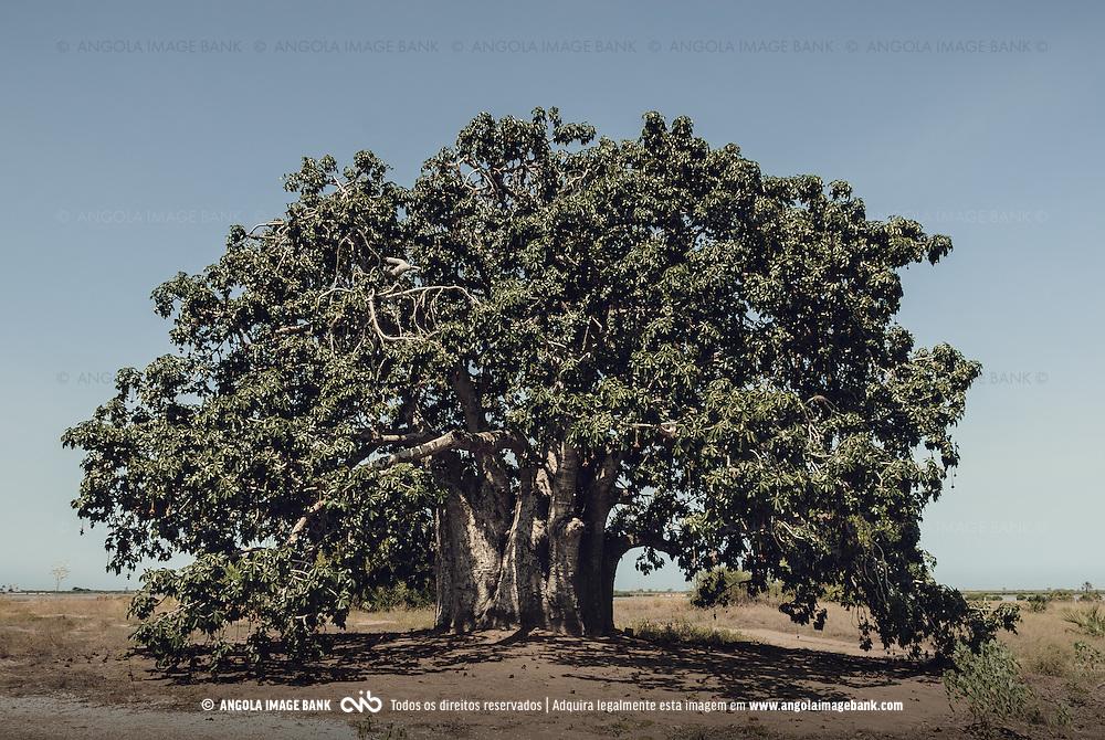 Imbondeiro (embondeiro) nas Salinas do Mussulo. Ramiros, Angola