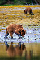 Grizzly bear, Kwinamass Conservancy, Great Bear Rainforest, BC