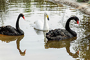 Three Swans in a pond