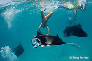 snorkeler dives to touch manta ray, Manta alfredi (formerly Manta birostris ), while guide photographs her with her own camera, Hanifaru Bay, Hanifaru Lagoon, Baa Atoll, Maldives ( Indian Ocean )