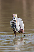 Goliath Heron fishing, St Lucia Wetlands, South Africa (3)