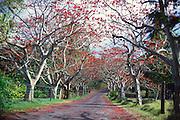 Coral trees, Kipahulu, Hana Coast, Maui, Hawaii<br />
