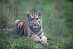 © London News Pictures. 04/02/2013.Endangered Siberian Tiger cub Kazimir looks straight at camera. Howletts Wild Animal Park in near Canterbury, Kent, officially announces endangered Siberian cubs debut. Siberian or Amur tigers are endangered in the wild and it is estimated that only 400 remain. Picture credit should read Manu Palomeque/LNP