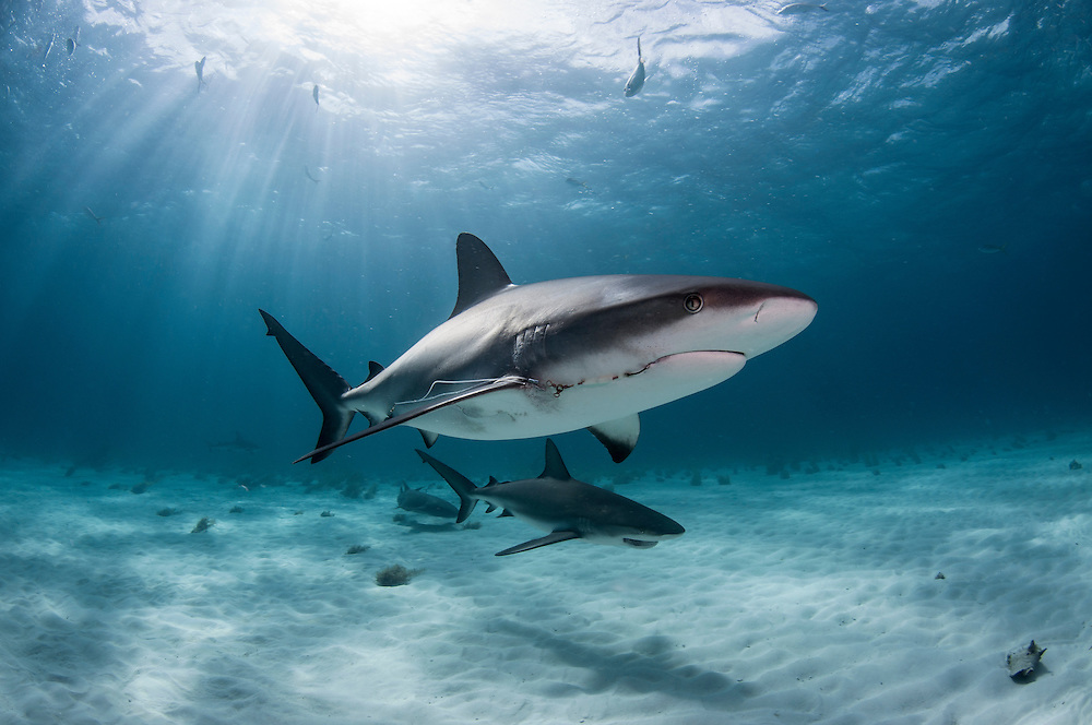 Caribbean reef shark, Carcharhinus perezii, at tiger beach off West End, Grand Bahama in the Bahamas.