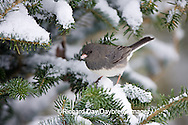 01569-014.16 Dark-eyed Junco (Junco hyemalis) in Balsam fir tree in winter, Marion Co. IL