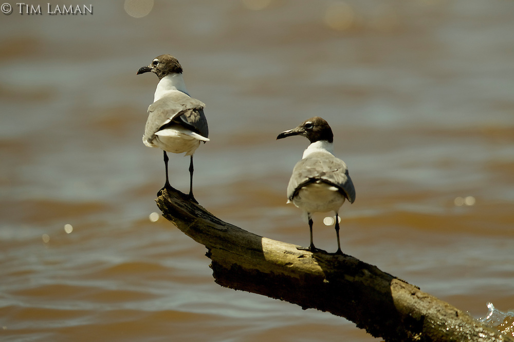 Two laughing gulls on a log over the water.