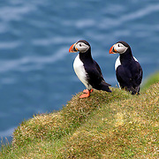 Colorful Atlantic Puffin pals on Heimaey in the Westman Islands of Iceland.