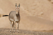 African wild ass (Equus africanus), Photographed in the Arava desert, israel