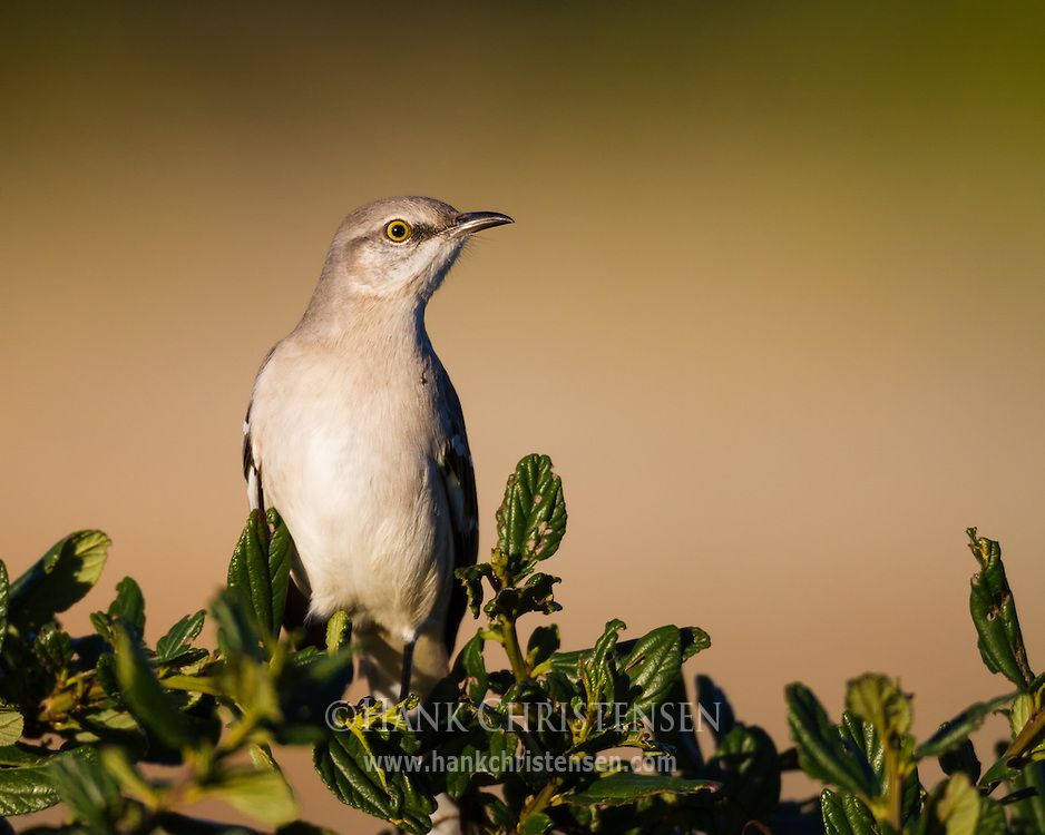 A northern mockingbird perches on an ornamental bush in late evening light
