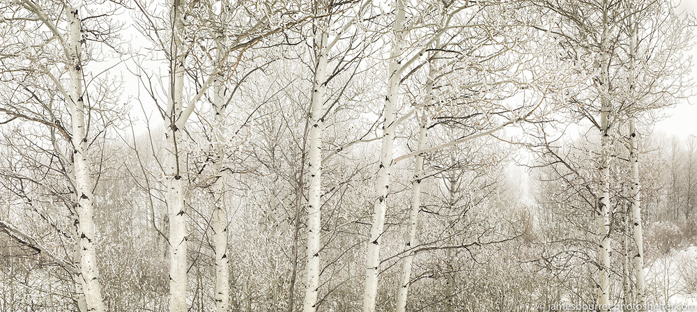 Aspens in Freezing Fog.<br />