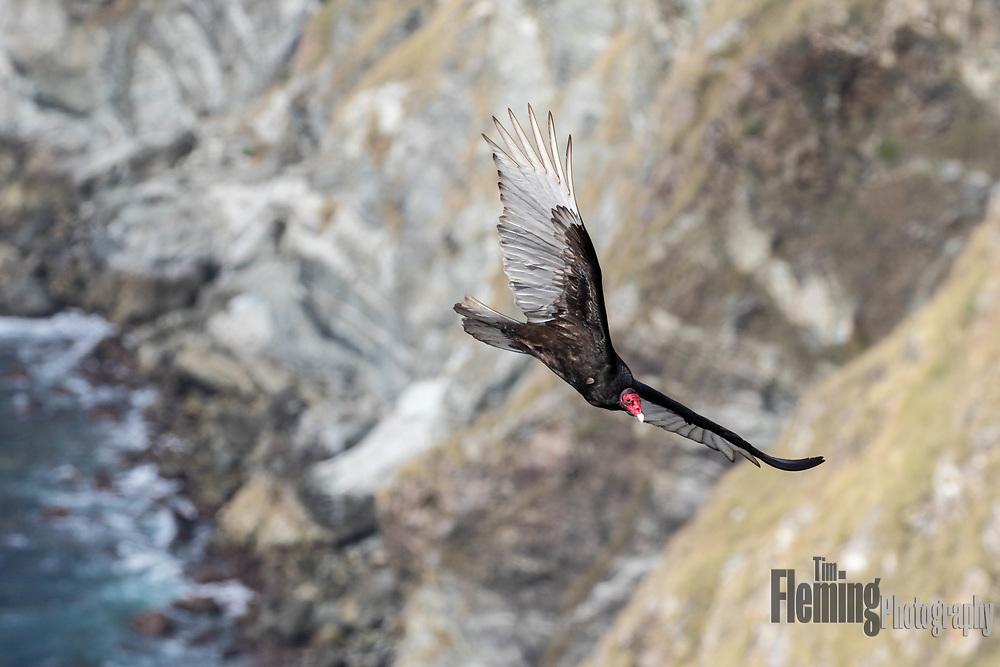 Turkey vulture soaring over the cliffs of Big Sur, California