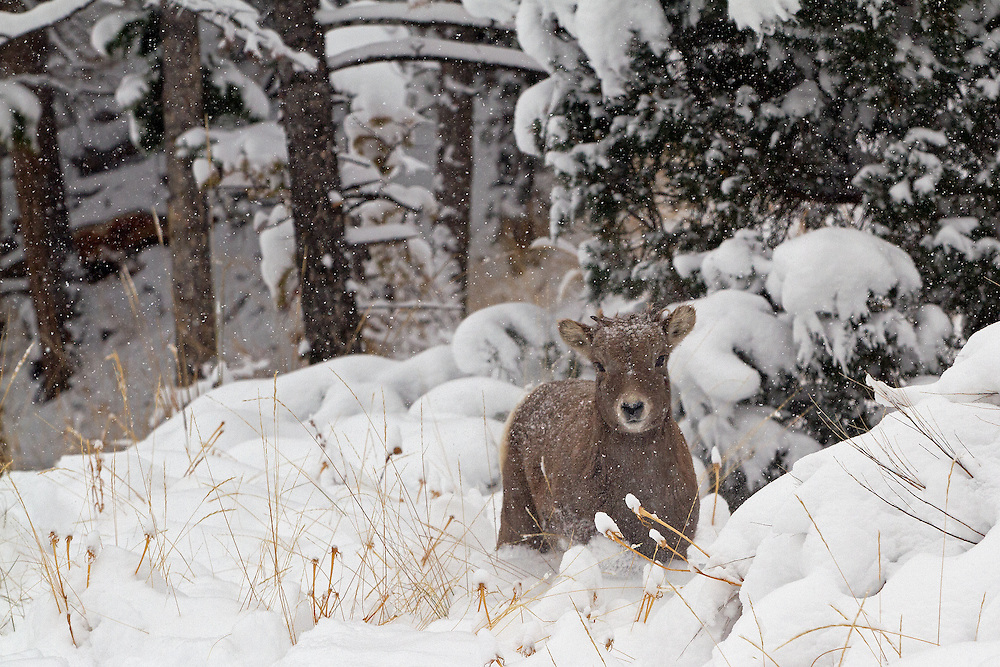 Born in late May, this bighorn lamb experiences his first snowfall in the Shoshone National Forest in northwestern Wyoming.