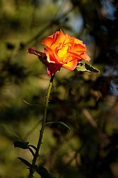 Orange and yellow rose