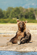 USA, Katmai National Park (AK).Brown bear (Ursus arctos) sitting up