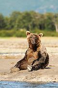 USA, Katmai National Park (AK).Brown bear (Ursus arctos) sitting up