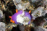 Mated Nudibranchs laying eggs on sponge