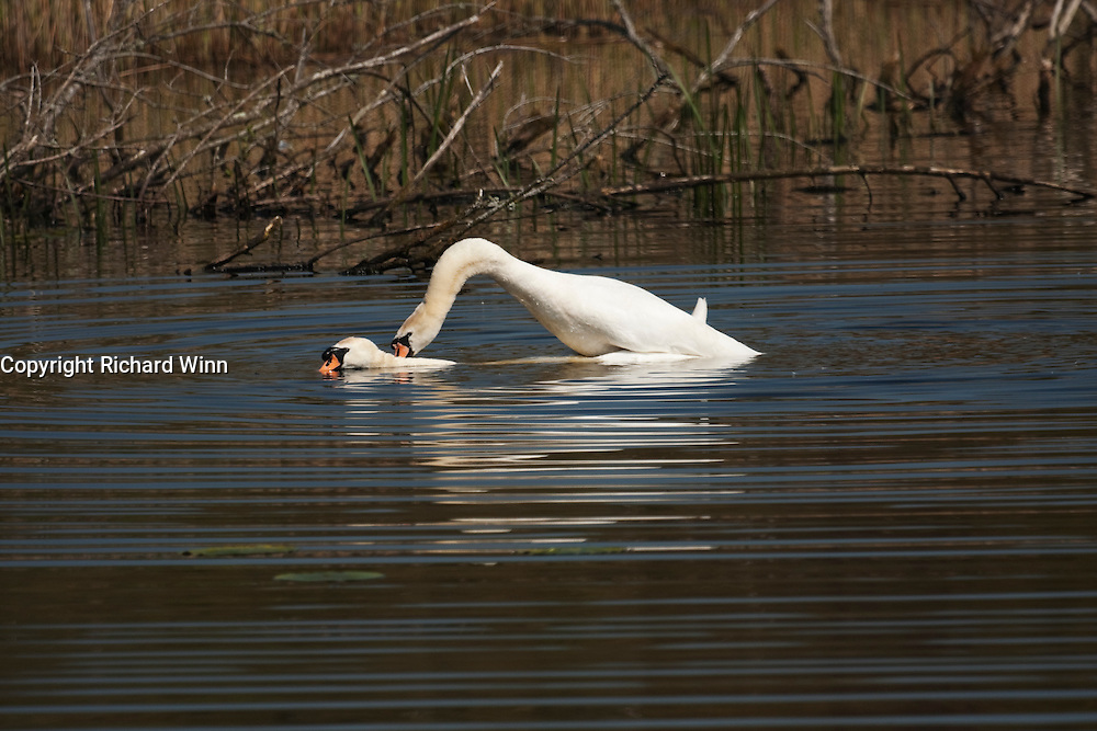 A pair of mute swans during mating. The cob climbs onto the hen, then grabs her neck to prevent her from drowning.