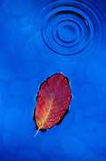 Black Tupelo leaf (Nyssa sylvatica) showing fall color with blue reflection. Studio, Portland, OR