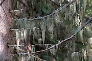 Spanish moss (from the Bromeliaceae family) draped over pine tree branches. This plant uses trees or rocks for support. It does not harm the tree, so it is termed an epiphyte. Photographed in Stubaital, Tyrol, Austria,