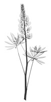 X-ray image of a lupine stalk (Lupinus, black on white) by Jim Wehtje, specialist in x-ray art and design images.