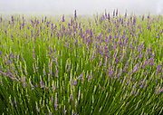 Lavender Field at 123 Farm & Highland Springs Ranch