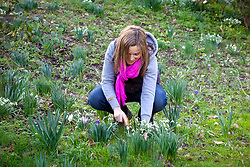 Digging up and dividing clumps of snowdrops - Galanthus nivalis - after they have flowered - known as 'in the green'